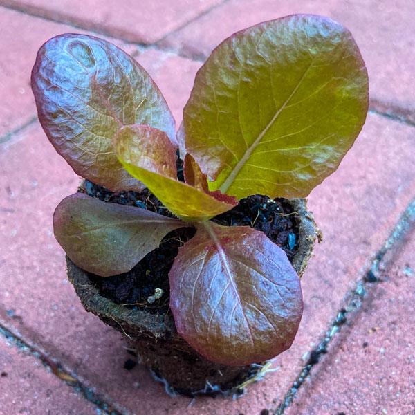 Lettuce: Marvel of Four Seasons
