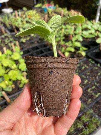 60mm seedling